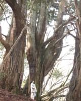 若杉天然杉