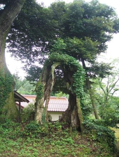 佐毘売山神社のシイ