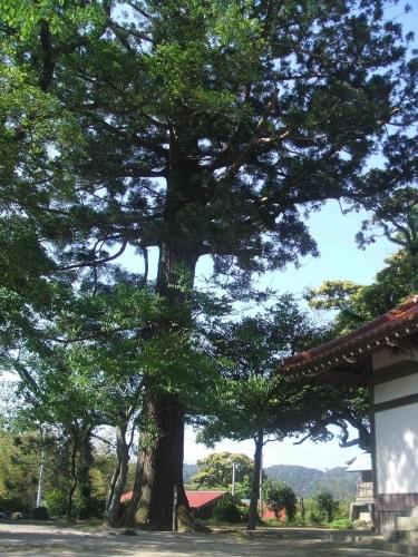 佐比売山神社のスギ