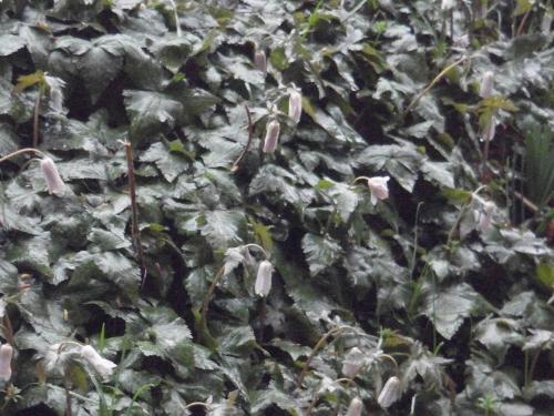 雨に打たれるユキワリイチゲ