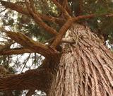 イベント「さんべの巨木めぐり」7/18開催