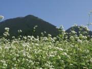 三瓶山麓のそば畑。向こうに男三瓶山がそびえる。